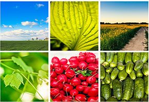 Colllage of photos - vegetables and fields