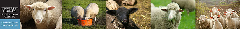 Collage of photos of sheep