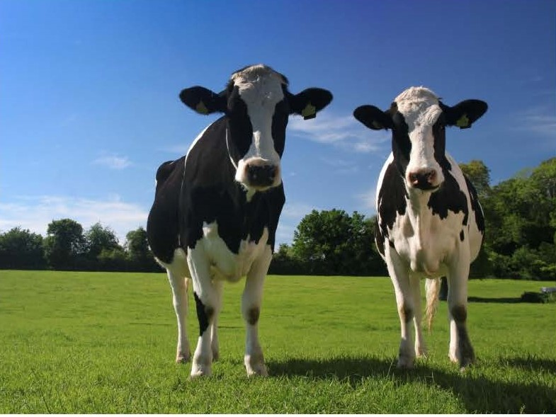 Dairy Herdsperson Apprenticeship - Image of two cows